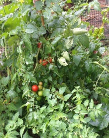 tomatoes-small